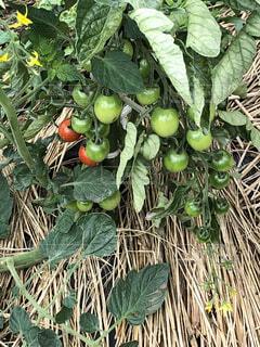 トマトの写真・画像素材[2265076]