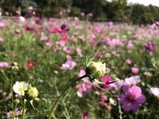 公園のコスモス畑の写真・画像素材[1563038]