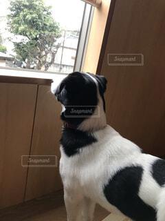 窓の前に座っている犬の写真・画像素材[4104311]