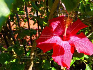 植物の赤い花の写真・画像素材[1562836]