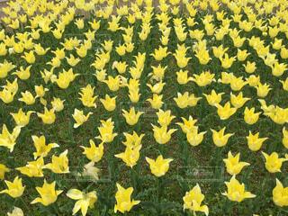 黄色のチューリップの写真・画像素材[1564321]