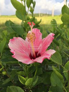 ピンクのハイビスカスの写真・画像素材[1573065]