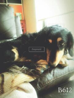 犬の写真・画像素材[52581]