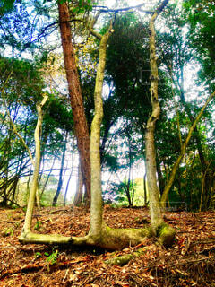 森で見つけた変な木シリーズ 1 「山」の写真・画像素材[1570500]