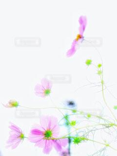 頸と横顔  秋桜のの写真・画像素材[2679293]
