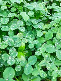 雨上がりのクローバーの写真・画像素材[1564370]