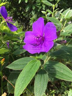紫色の花の写真・画像素材[1566515]