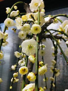 しだれ梅の写真・画像素材[1749700]
