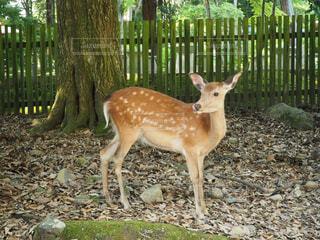 奈良の鹿の写真・画像素材[1581370]