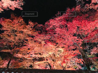 宝厳院紅葉ライトアップ🍁の写真・画像素材[1568124]