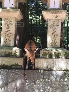 奈良の鹿の写真・画像素材[1568458]