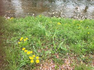 草の中の黄色い花の写真・画像素材[1589918]