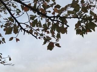 木の枝の向こうに空の写真・画像素材[1593513]