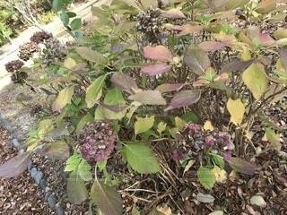 枯れた紫陽花の花②の写真・画像素材[1697227]