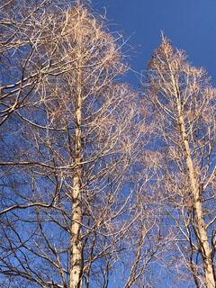 葉の落ちた木の写真・画像素材[1731068]