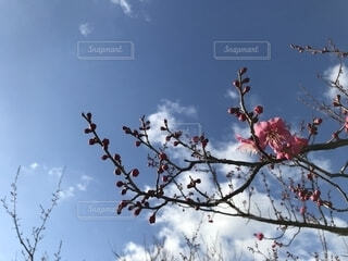 梅の枝と空④の写真・画像素材[1754155]