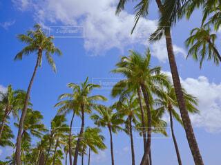 ハワイのヤシの木の写真・画像素材[1572657]