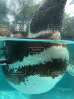 のとじま水族館のペンギンの写真・画像素材[2317613]