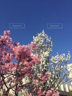 ピンクと白の花の木の写真・画像素材[1886104]