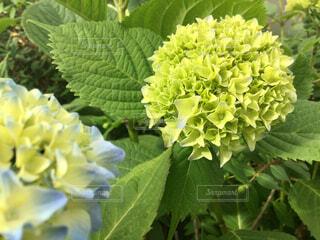 紫陽花の写真・画像素材[2147760]