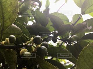 今年は豊作な柚子の写真・画像素材[2173114]