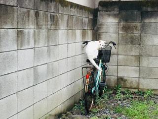 自転車に乗る白猫の写真・画像素材[2445904]