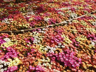 花畑の写真・画像素材[1576180]
