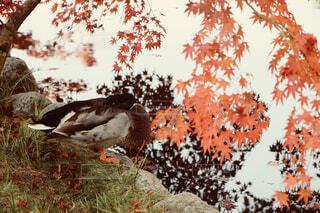 秋のカルガモの写真・画像素材[1576403]