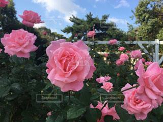 ROSE  クイーン・エリザベスの写真・画像素材[1573934]