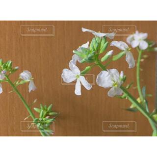 大根の花の写真・画像素材[1659286]