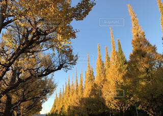 森の大きな木の写真・画像素材[1619823]