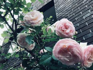 緑の葉とピンクの花の写真・画像素材[1633549]