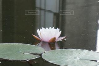 睡蓮の写真・画像素材[1576313]