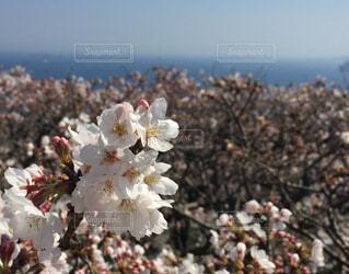 熱海の桜の写真・画像素材[1598532]