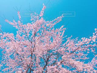 桜と青空の写真・画像素材[1598539]