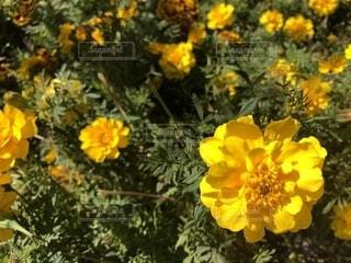 花壇の花の写真・画像素材[1579497]