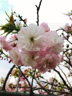 桜の写真・画像素材[1578411]