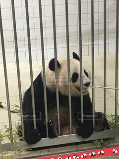 パンダのアーンの写真・画像素材[1578467]