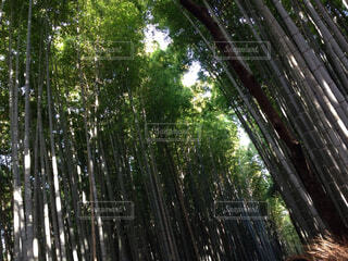 竹林の写真・画像素材[1578707]