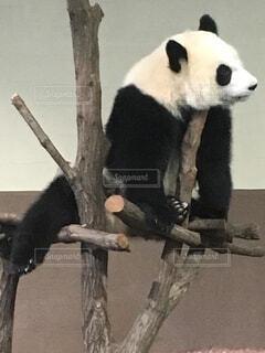 アゴをかいてるパンダの写真・画像素材[1580525]