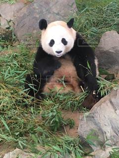 パンダの写真・画像素材[1580550]
