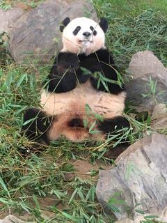 おっちんパンダの写真・画像素材[1580552]