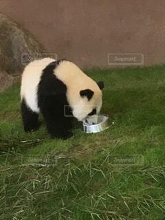 ご飯中のパンダの写真・画像素材[1580558]