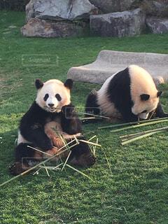 ご飯中のパンダの写真・画像素材[1580697]