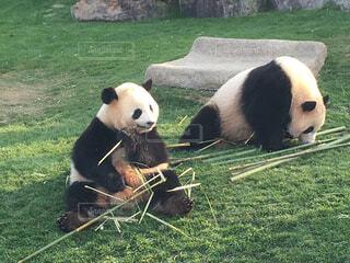ご飯中のパンダの写真・画像素材[1580699]