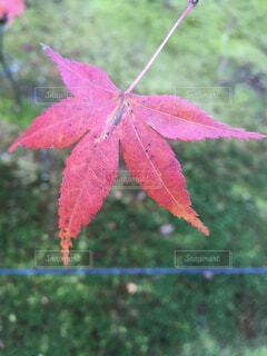 紅葉の写真・画像素材[1581304]