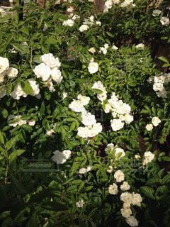 花の写真・画像素材[53270]