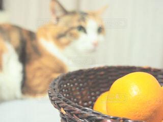猫と蜜柑の写真・画像素材[1595556]