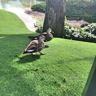 パーク内を散歩する鴨の写真・画像素材[1654235]
