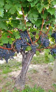 アイスワインの葡萄の写真・画像素材[1663936]